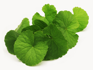 gotu-kola-herb